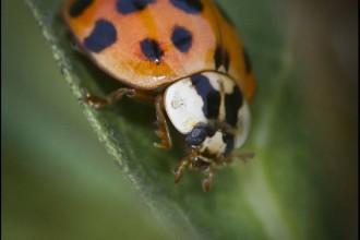 Harmonia Axyridis , 6 Photos Of Lady Bug Beetle In Bug Category