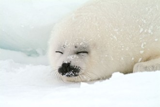 Harp Seal Facts For Kids in Dog