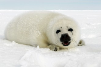 Harp Seal Information in Birds