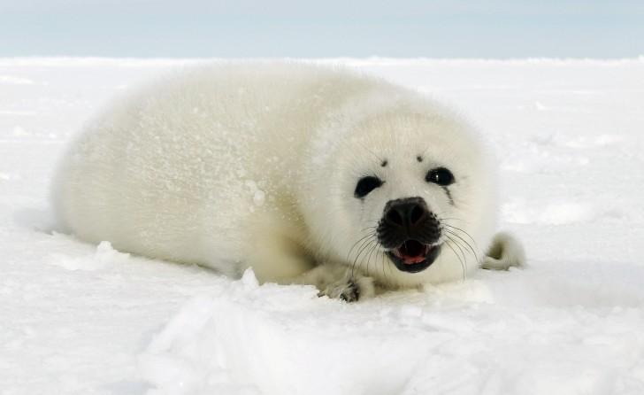 Mammalia , 5 Harp Seal Facts : Harp Seal Information