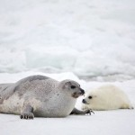 Harp Seal Mother and Newborn , 6 Harp Seal Facts For Kids In Mammalia Category