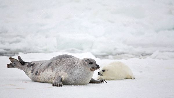 Mammalia , 6 Harp Seal Facts For Kids : Harp Seal Mother And Newborn