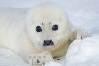 Harp Seal Pup in Plants