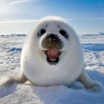 Harp Seal in East Canada , 5 Harp Seal Facts In Mammalia Category
