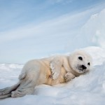 Harp seal pup , 6 Harp Seal Facts For Kids In Mammalia Category