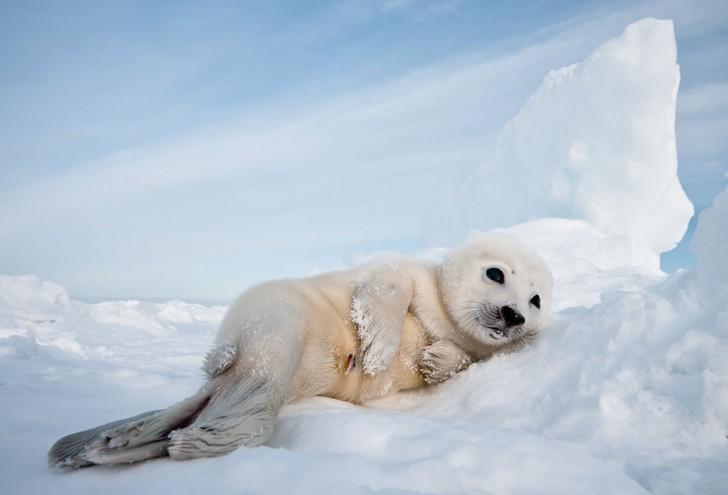 Mammalia , 6 Harp Seal Facts For Kids : Harp Seal Pup