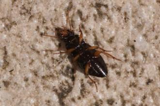 Harpalus Rufipes Beetle , 7 Strawberry Seed Beetle Photos In Beetles Category