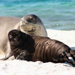 Hawaiian Monk Seal Myths Vs. Facts , 5 Hawaiian Monk Seal Facts In Mammalia Category