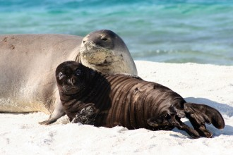 Mammalia , 5 Hawaiian Monk Seal Facts : Hawaiian Monk Seal Myths Vs. Facts