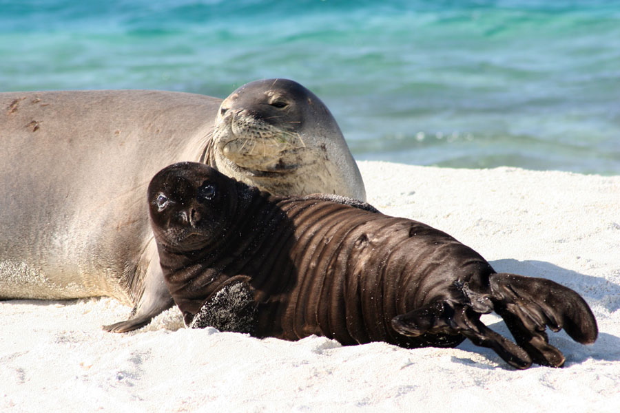 Hawaiian Monk Seal Myths Vs. Facts