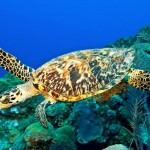 Hawksbill Sea Turtle , 6 Hawksbill Sea Turtle Facts In Reptiles Category