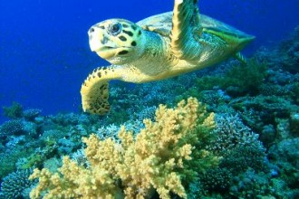 Hawksbill Sea Turtle Facts in Reptiles