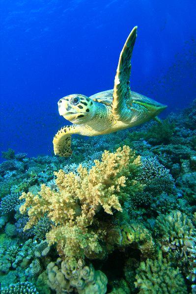 Reptiles , 6 Hawksbill Sea Turtle Facts : Hawksbill Sea Turtle Facts