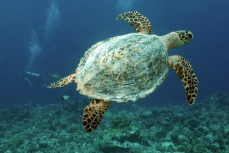 Hawksbill Sea Turtle Photos , 6 Hawksbill Sea Turtle Facts In Reptiles Category