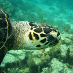 Hawksbill Sea Turtle Pictures , 6 Hawksbill Sea Turtle Facts In Reptiles Category