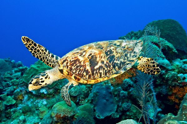 Reptiles , 6 Hawksbill Sea Turtle Facts : Hawksbill Sea Turtle
