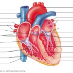 Heart  , 4 Fetal Pig Dissection Lab Simulator In Organ Category
