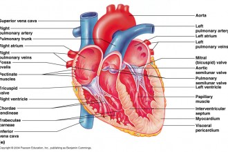Heart  in Mammalia