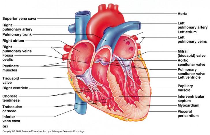 Organ , 4 Fetal Pig Dissection Lab Simulator : Heart