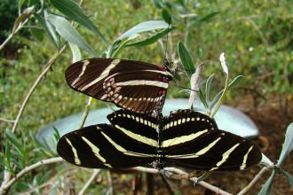 Heliconius Charithonia Mating , 8 Photos Of Zebra Longwing Butterfly Mating In Butterfly Category