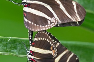 Heliconius Charithonia Butterflies Mating , 8 Photos Of Zebra Longwing Butterfly Mating In Butterfly Category