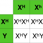Hemophilia Punnett Square Tables , 7 Hemophilia Punnett Square In Genetics Category