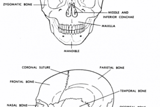 Human Skeletal System in Brain