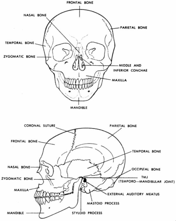 human skeletal system : 6 skeletal system study guide | biological, Skeleton