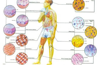 Human Tissues , 7 Tissue Pictures In The Human Body In Cell Category
