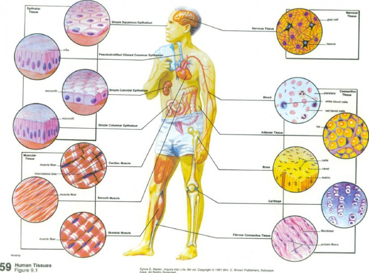 Cell , 7 Tissue Pictures In The Human Body : Human Tissues