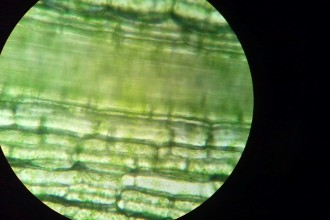 Hydrilla Plant Cells Seen Under A Microscope , 8 Pictures Of Plant Cells Under A Microscope In Cell Category
