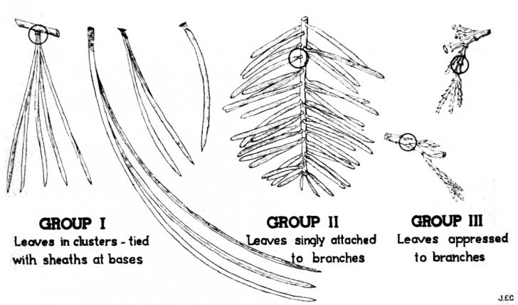 Plants , 4 Pine Tree Identification Key : Identification Key For Cone