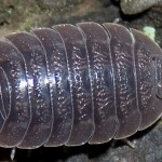 Isopod Care Sheet , 7 Pictures Of Isopod In Isopoda Category