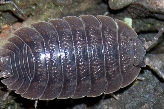 Isopod Care Sheet in Plants