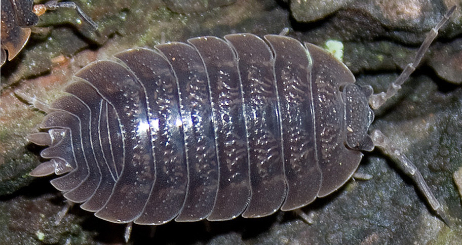 Isopod Care Sheet