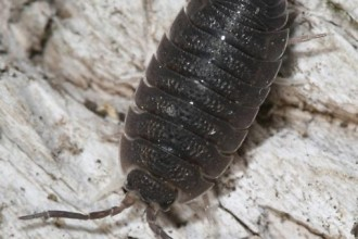 Isopod Porcellio Scaber , 7 Pictures Of Isopod In Isopoda Category