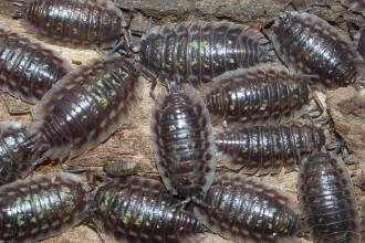 Isopods , 7 Pictures Of Isopod In Isopoda Category