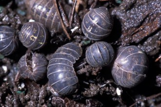 Isopods Eat Fungi And Decaying Plant Matter , 7 Pictures Of Isopod In Isopoda Category