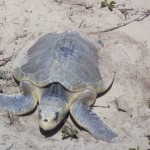 Kemps Ridley Sea Turtle , 6 Kemp's Ridley Sea Turtle In Reptiles Category