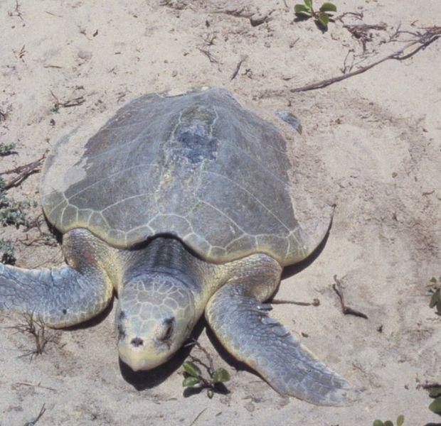 Reptiles , 6 Kemp's Ridley Sea Turtle : Kemps Ridley Sea Turtle