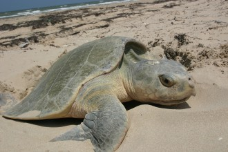 Kemp's Ridley sea turtle nesting in Beetles