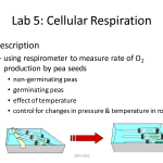 Lab 5 Cellular Respiration , 6 Lab Bench Cellular Respiration In Cell Category