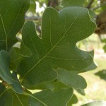 Lacey Oak Tree , 6 Oak Tree Leaves In Plants Category