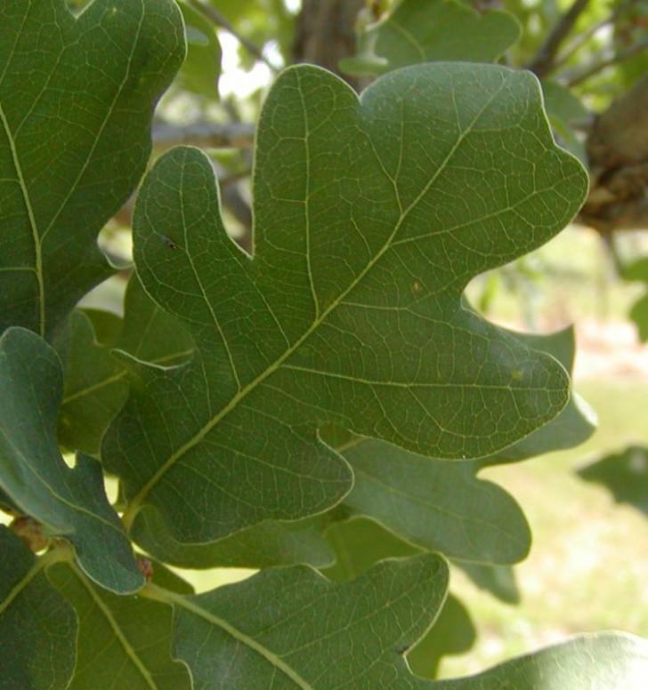 Plants , 6 Oak Tree Leaves : Lacey Oak Tree