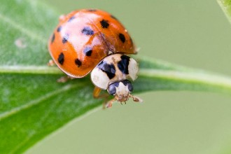 Lady Bug Beetle , 6 Photos Of Lady Bug Beetle In Bug Category