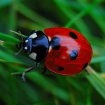 Ladybird beetle , 6 Photos Of Lady Bug Beetle In Bug Category