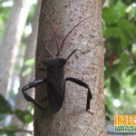 Leaf Footed Bugs , 6 Leaf Footed Bug Controls In Bug Category