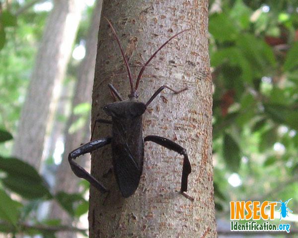 Bug , 6 Leaf Footed Bug Controls : Leaf Footed Bugs