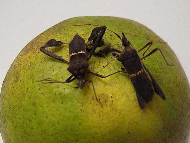 Bug , 6 Leaf Footed Bug Controls : Leaf Footed Plant Bug