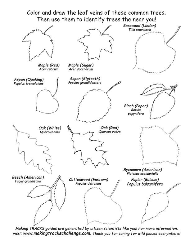 Plants , 7 Leaf Tree Id Key Review : Leaf Shapes